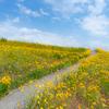 夏らしい風景:オオキンケイギクの花畑