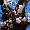 「佐久の季節便り」、「ウメ(梅)」の花、青空に映えて…。