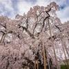 2019年桜@日本三大桜の一つ、三春滝桜を見に行ってきました!!