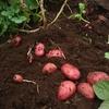 ジャガイモを収穫してきました