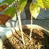 コーヒーの木の新芽