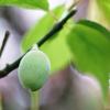 春先までね『ヤナギダコ』のブツ