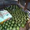 スイカ 収穫販売最盛期