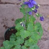 春の花々で日々感動・・・セイヨウオダマキ、チューリップ、香る花と葉