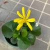 ツワブキ 4号鉢で精一杯の成長