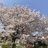 安川緑道公園、桜満開です。