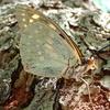銀色の巨大な蝶 オオムラサキ