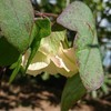 ハイビスカスかオクラか、実は綿の花