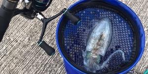 【エギング】初心者がアオリイカを釣るまで ③待望の一杯