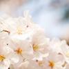 【LUMIXS1】近所の公園で桜を撮ってきました