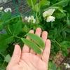 苗から育てる秋撒きさやえんどうの収穫。開花後から収穫時期の目安。