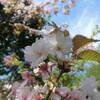 監物台樹木園の遅咲き桜