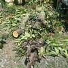 薪ストーブ始生代⑨柿の木を割ってみる