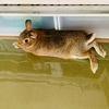 ウサギのちまき、丸い方がカワイイ