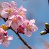 咲いてきた河津桜