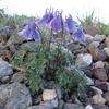 この夏覚える高山植物VOL.25  「 ミヤマオダマキ」
