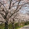 【船橋】お花見 at 海老川ジョギングロード 2018