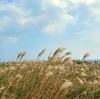 ススキ畑に風が吹いたら in 馬羅島