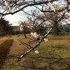 気仙沼の桜だから、気〜ざくら〜