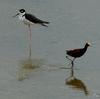 ベリーズ 即席の池に集まる鳥たち