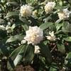 沈丁花と雪柳
