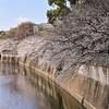 🌸江戸川橋公園で桜を撮影しました🌸
