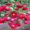 「アスター・エゾギク」の花が見頃に…。