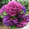 やっぱり紫陽花は直植えが長く楽しめる