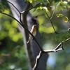 ムギマキ・トラツグミ・アオバト・ツグミ・ハシビロガモ(大阪城野鳥探鳥 20201024 5:50-13:25)