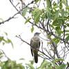 ツツドリ、ホオジロ、エゾビタキ(大阪城野鳥探鳥 2016/09/22 5:30-13:05)