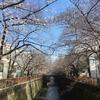 【速報】目黒川の桜 開花状況【2018年3月22日】