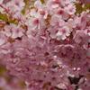 春爛漫の超絶満開河津桜