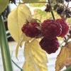 ラズベリーの収穫、イエローワンダーストロベリー、中玉トマト・フルティカの花、クリスマスに花開いたシクラメンの一番花、ハーブ