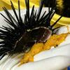 大島では冬のウニ漁のシーズンです(知られざるウニ加工について)
