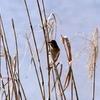 手賀沼の葦につかまるオオジュリン