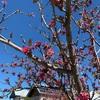 桜じゃなくて梅の花だって