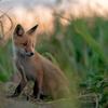 Summer Fox - なつのきつねとハマナス