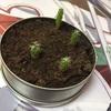サボテン 種植えてから五ヶ月半くらいの様子