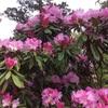 花の名前:シャクナゲ
