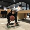 chimpanzee in the street life