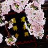 建長寺の桜は写真初心者にも撮りやすくておすすめです