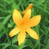 今日の誕生花「ニッコウキスゲ」登山者に人気の高い日光の地名が付いたニッコウキスゲ!