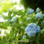 紫陽花と大賀ハスの蕾。DIC川村美術館 千葉県佐倉市 2017