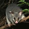 メルボルンの夜の公園に現れるオーストラリアの野生動物ポッサムが凄すぎた