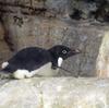 八景島シーパラダイスのペンギン