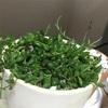 腐るグリーンネックレスとモンステラ新芽、まだ切れ込みは出ず