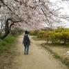 阪内川 お花見