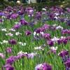 満開の花菖蒲を見るなら今!! in  長崎の大村公園
