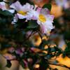山茶花の背景はオレンジ