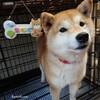 我が家の柴犬『きなこ』がモデルデビュー(^o^) / 腰痛に腹筋!背筋!ストレッチ